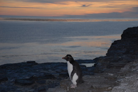 Rockhopper Penguin at Dusk