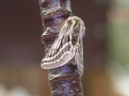 Belted Beauty Moth